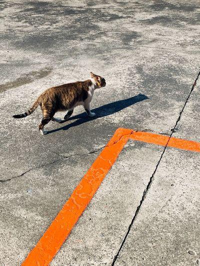Catwalk Cat