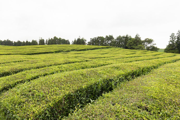 A beautiful landscape view of tea growing on the island of Sao Miguel in the Azores. Sao Miguel Portugal Azores Island Archipelago Tea Gorreana Production Factory Rows Hedges Europe European  Black Green Travel Destination Tourism Tour Camellia Sinensis Plantation Agriculture Lanscape Farm Organic