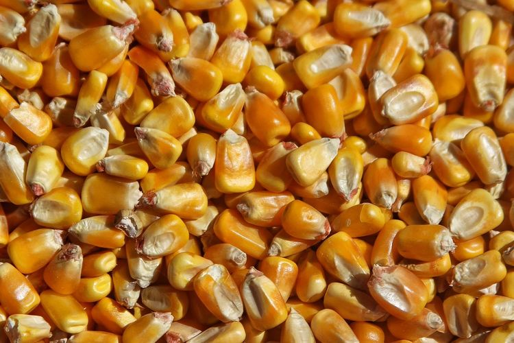 Corn Kernels Grain Yellow Seeds Farm Vegetables Ethanol Pattern Pieces Paint The Town Yellow