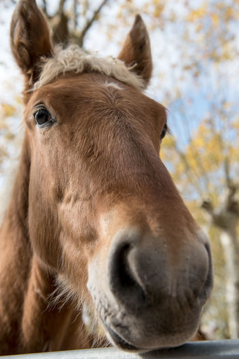 Horse Brown HEAD Face Portrait Stallion Animal Beautiful Mammal Equine Nature Farm Mane Equestrian Pet Chestnut Breed Closeup Domestic One Outdoor Thoroughbred Beauty Wild Purebred Close Up Color Rural Show Horses Natural Ranch