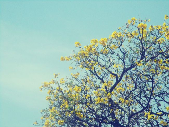 Vintage Spring Yellow Flowers Trees Pastel Power Getty Images Getty+EyeEm Collection @sekharchinta, Hyderabad India