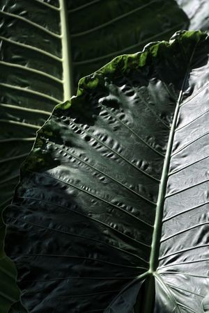 Giant green leaf Bandung Shooter Indonesian Shooter Beauty In Nature Close-up Day Focus On Foreground Freshness Green Color Growth High Angle View Leaf Leaf Vein Leaves Nature No People Outdoors Palm Leaf Plant Plant Part