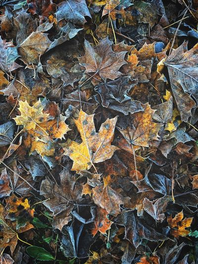 High angle view of dry maple leaves on street