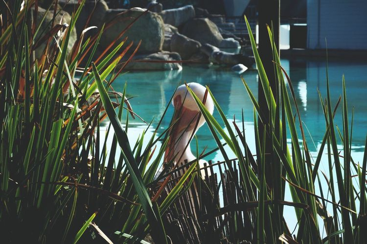 Pelican Animals Zoo Naturelovers EyeEm Nature Lover From My Point Of View Hello World Hide Surprise