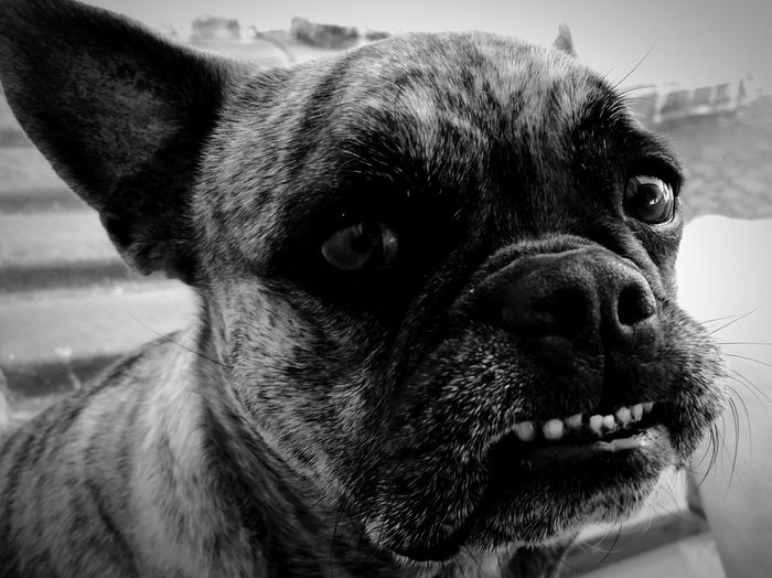 Close-Up Portrait Of French Bulldog Growling