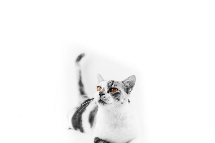 Portrait of cat against white background