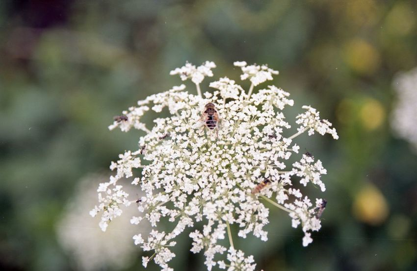 Animal Animal Themes Beauty In Nature Close-up Day Flower Flower Head Flowering Plant Focus On Foreground Fragility Freshness Growth Insect Invertebrate Nature No People One Animal Outdoors Plant Pollination Vulnerability  White Color