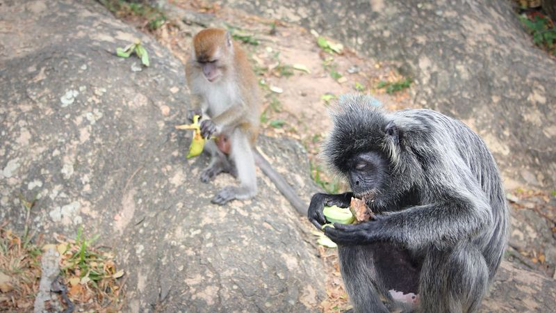 monkey business Monkey Business Monkey Monkeys Animal Wildlife Animals In The Wild Mammal Group Of Animals No People Vertebrate Nature Animal Family Two Animals Eating