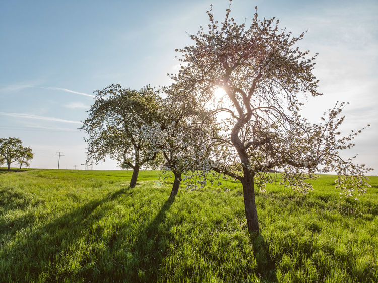 Blossoming Tree DJI X Eyeem Freshness From Above  Green Color Morning Sun Nature Shadows & Lights Sunlight Trees Apple Tree Blue Sky Cherry Tree Day Dronephotography Environment Fruit Tree Grass Green Color Growth Landscape Outdoors Spring Three Trees Tranquil Scene