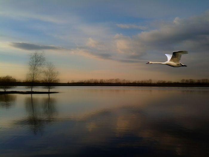Swan flying over river against sky during sunset