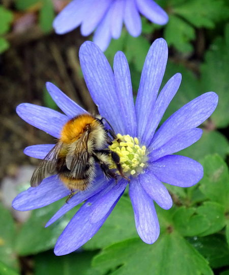 Animal Themes Animals In The Wild Beauty In Nature Blooming Bumblebee Close-up Day Flower Flower Head Fragility Freshness Growth Insect Nature No People One Animal Outdoors Petal Plant Pollination Purple