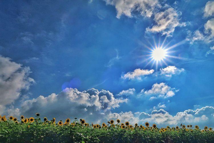 🌻柳川ひまわり園🌻 ひまわり 向日葵 向日葵畑 ひまわり畑 柳川 空 青空 太陽 Sun Flower Blue Agriculture Sunflower Sky EyeEm Nature Lover EyeEm Best Shots EyeEm Gallery Dramatic Sky Beauty In Nature Nature FieldSummer 柳川ひまわり園 Landscape Beauty In Nature