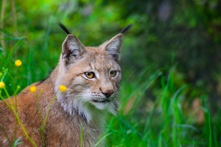 Lynx looking away in forest