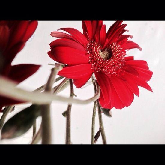 Red Flower Beauty