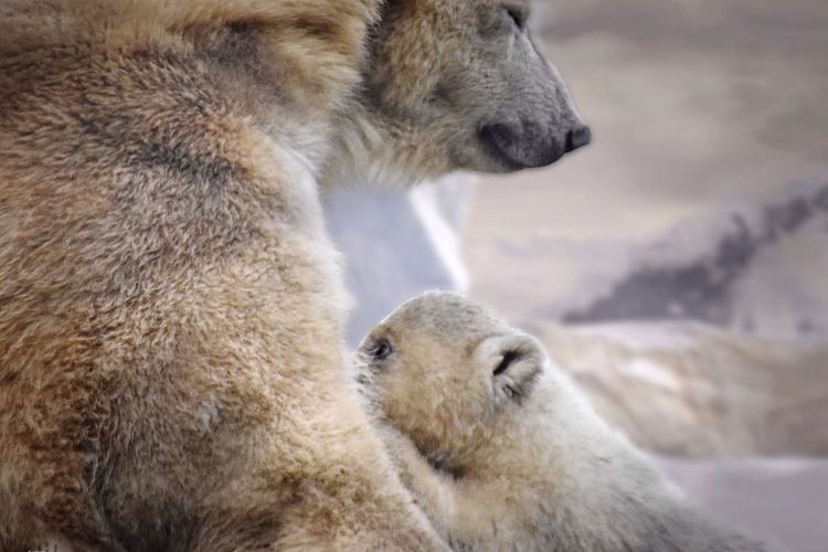 Showcase: March Wildlife Photography Animals In The Wild Natural Beauty Icebears Habitat Capture The Moment Safehaven Togetherness Protect And Save Our Planet Collection Growth Close Up Nature Freedom Climate South Pole Expedition Protection Of Mother Atmosphere Wildlife & Nature Travel Photography