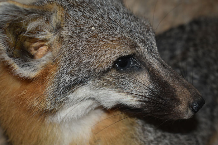 Grey fox close up Animal Head  Animal Themes Animal Wildlife Animals In The Wild Close-up Day Focus On Foreground Grey Fox Mammal Nature No People One Animal Outdoors