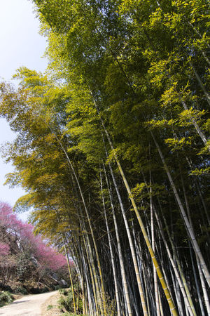 bamboo forest at Gwangyang Cheongmaesil Maeul in Jeonnam, South Korea Bamboo Gwangyang Plant Tree Nature Day Growth Outdoors Beauty In Nature No People Land Forest Tranquility Green Color Scenics - Nature Tranquil Scene Low Angle View Non-urban Scene Sunlight Sky Idyllic Environment Bamboo - Plant