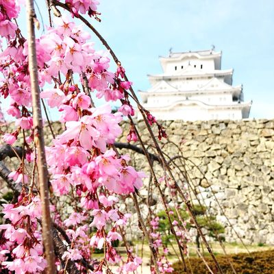 Sakura Architecture Beauty In Nature Blossom Building Building Exterior Built Structure Cherry Blossom Cherry Tree Day Flower Flowering Plant Fragility Freshness Growth Himeji Castle Low Angle View Nature No People Outdoors Pink Color Plant Springtime Tree Vulnerability