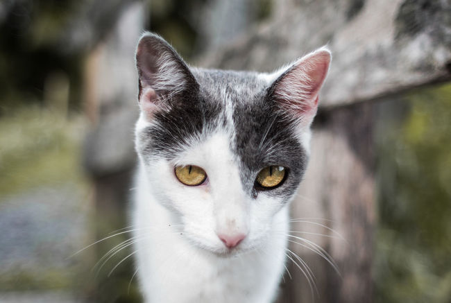 Animal Themes Cat Cat Close Up Close-up Day Domestic Animals Domestic Cat Feline Focus On Foreground Looking At Camera Mammal No People One Animal Outdoors Pets Portrait Whisker Yellow Eyes
