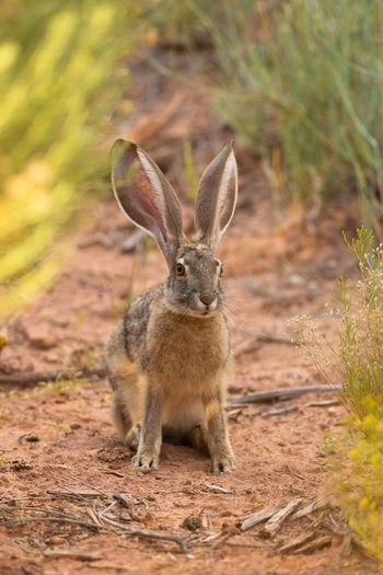 Desert Jackrabbit Bunny Ears  Desert Life Jackrabbit Animal Wildlife Animals In The Wild Mammal Beauty In Nature Bunny  Bunny Rabbit Animal Themes Desert Lytle Ranch, UT Utah Southern Utah