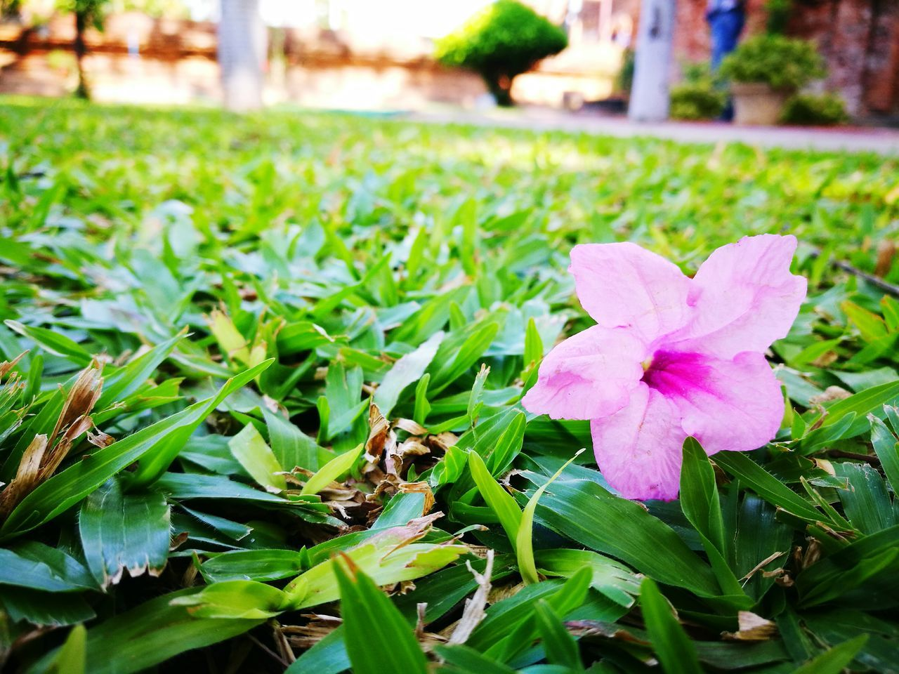 flower, beauty in nature, petal, nature, green color, growth, freshness, fragility, flower head, day, close-up, leaf, plant, focus on foreground, grass, outdoors, no people, pink color, blooming, periwinkle