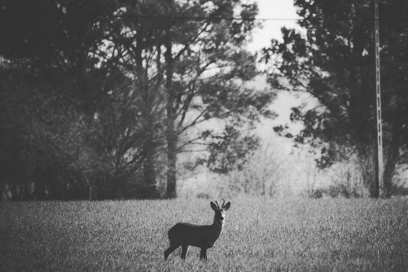 Blackandwhite Black And White Monochrome Fallow Deer Nature_collection Wildlife Nature Photography Wildlife & Nature Tree Silhouette Grass Fawn Stag Deer Horned Wild Animal My Best Photo
