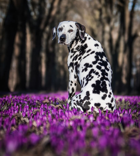 Dalmatian sitting in the middle of crocuses Dalmatian Pet Photography  Animal Themes Beauty In Nature Close-up Crocus Crocuses Dalmatian Dog Day Dog Dog Photography Domestic Animals Flower Mammal Nature No People One Animal Outdoors Pets Springtime Tree