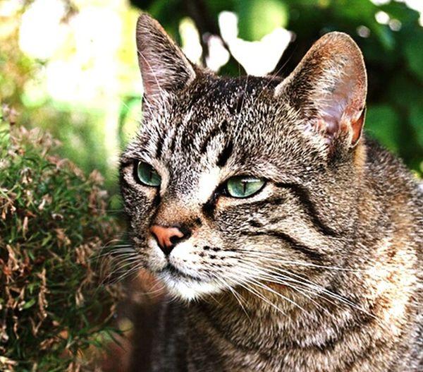 Cat Animal Green Eyes Katzen