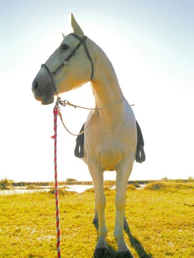 Showcase: December Mr. Heavenly Quarter Horse White Racing And Model Horse Animal Photography Animal_collection