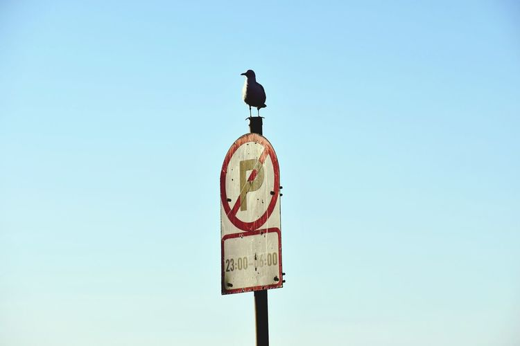Low angle view of seagull perching on sign pole against clear blue sky
