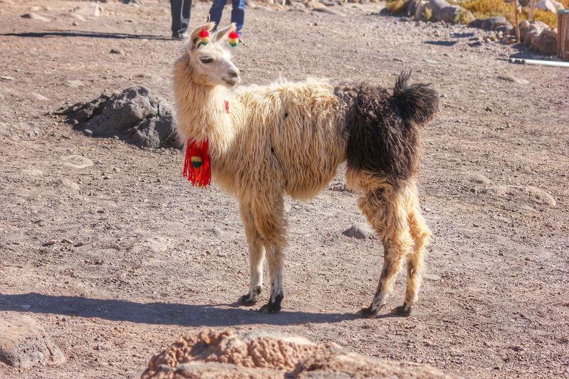 View Of Lama