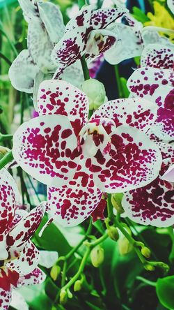 What a beautifull gift, a bloom of orchids Nature Beauty In Nature Plant Growth No People Freshness Leaf Brilliant White Dark Pink Patched Green Leaves Backfround Unfocused Flower Head Outdoors Exibition Full Length One Flower Full Lenght Others Partial Liked By Most