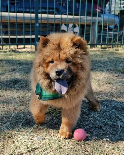 Pet Portraits ChowChow Puppies Chow Cute Puppy Dog Pets Mammal Outdoors Fujifilm_xseries Fujifilm Dogs Dog Life Dogs Of EyeEm