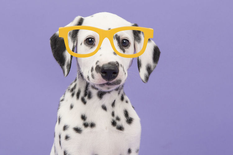 Portrait of a cute dalmatian puppy dog on a purple background wearing big yellow glasses facing the camera Dalmatian Puppy Dalmatian Glasses Purple Background Portrait Dog Portrait Animal Themes Canine Dog Animal Domestic Animals Pets Dalmatian Dog Studio Shot Colored Background Purebred Dog Cute Puppy