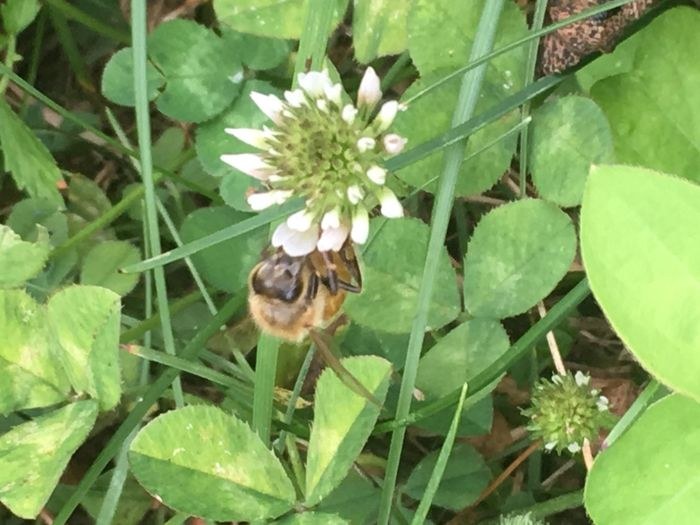 Clover Bee Collecting Pollen Bee On The Flower Close-up Flower Flower Head Flowering Plant Fragility Honey Bee Insect Invertebrate Pollination Vulnerability