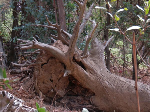 Bark Beauty In Nature Branch Day Dead Plant Driftwood Fallen Tree Field Forest Growth Land Nature No People Outdoors Plant Plant Part Root Tranquility Tree Tree Trunk Trunk Wood Wood - Material