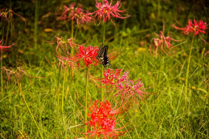 Buttlerfly in Hamarikyu, Tokyo (Japan) Butterfly Butterfly - Insect Flower Insect Nature Nature Park  No People Pollination