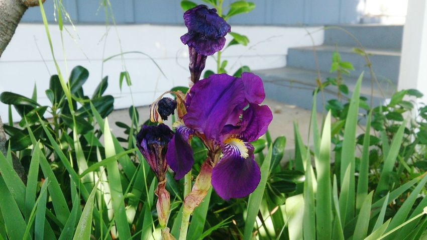 I don't always forget to water my plants, but when I do, I'm sure to make bad Dos Equis puns. Stay thirsty, my friends. Wilting Flowers Iris Plants Warm Weather Flowers Plants 🌱 Irises Garden Plants And Flowers