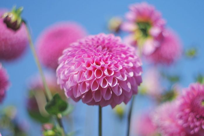 Daria Flower Beauty In Nature Flower Head Petal Nature Freshness Pink Color No People Plant Outdoors Day Blooming EyeEm Nature Lover Pentax Oldlens