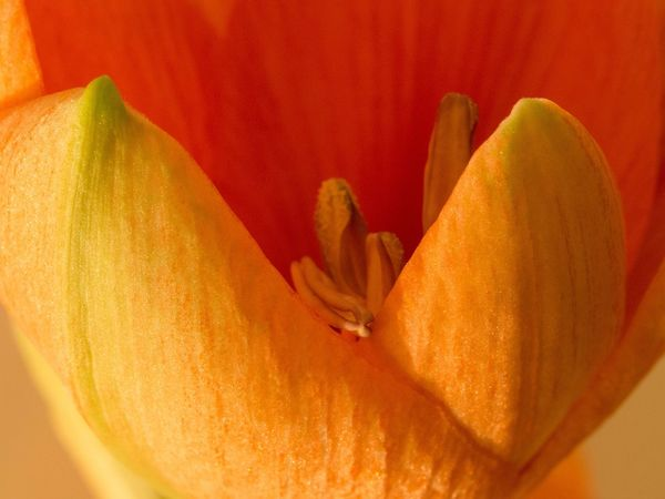 """""""Open"""" Amaryllis Floral Colors Floralperfection Detail Structure Flower Collection Close-up Beauty Nature Nature_collection Nature Photography Belladonna Lily Macro Flower Open Opened Calix Inflorescence Petal Petal_perfection Stamen"""