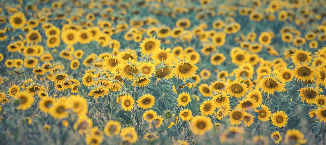 Backgrounds Beauty In Nature Close-up Day Field Flower Flower Head Flowering Plant Fragility Freshness Full Frame Growth Land Landscape Nature No People Outdoors Petal Plant Sunflower Yellow