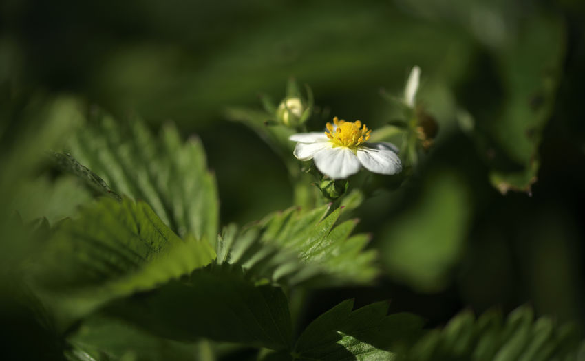 Blossom off Wood Strawberry Plant Flower Flowering Plant Growth Freshness Beauty In Nature Fragility Vulnerability  Close-up Petal Flower Head Selective Focus Green Color Inflorescence White Color Nature Plant Part Leaf Day No People Outdoors Pollen Fruit Blossom Nature Nature Photography EyeEm Nature Lover Blossom Garden Photography Dark Photography darkness and light Strawberry Makro Makro Flower Nikon Nikondeutschland Atmospheric Nature Floral Photography