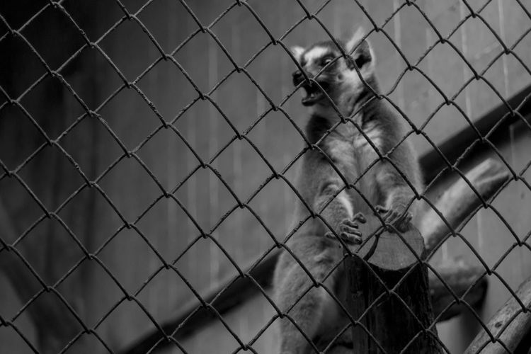 Close-Up Of Lemur In Cage