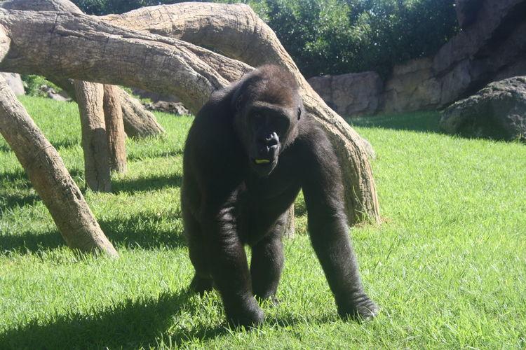 Animal Animal Themes Bioparco Gorilla Grass Herbivorous No People One Animal Valencia, Spain Zoology