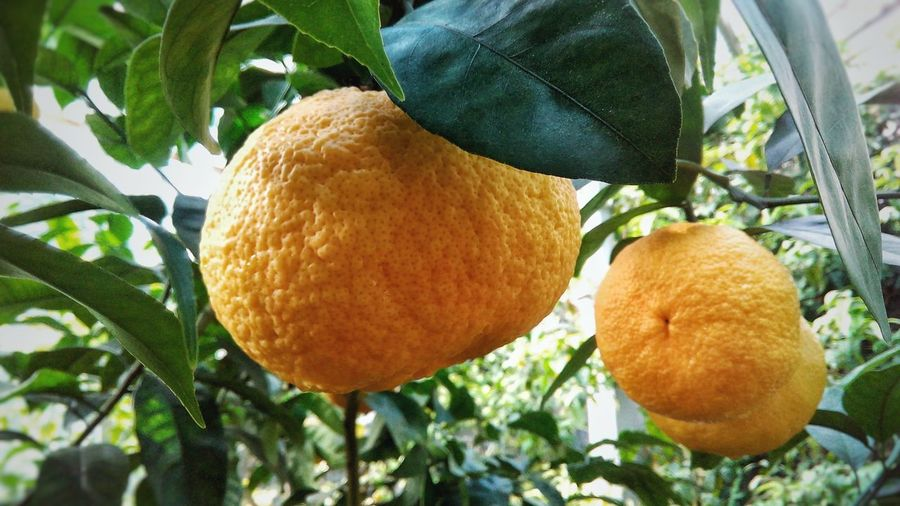 Garden Botanical Gardens Beauty In Nature Green Branch Botanical Garden Botany Tree Fruit Leaf Citrus Fruit Hanging Agriculture Ripe Close-up Food And Drink Orange Tree Unripe Orange - Fruit Juicy Fruit Tree Vitamin C Juicer Halved Blood Orange Grapefruit Sour Taste Cultivated Tangerine Lemon Tree