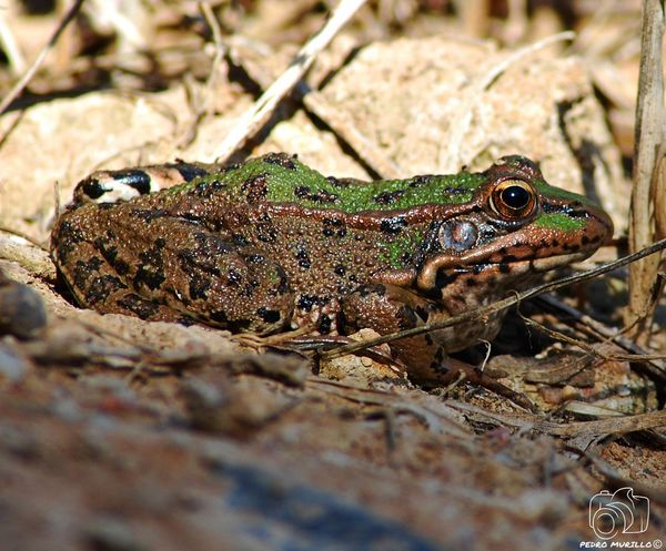 Animal Themes Looking At Camera Animals In The Wild Water Reptile Animal Wildlife Rana Ranas🐸 Ranas❤ Frogs Frog Naturephotography Beauty In Nature Eyem Nature Lover Nature Nikonphotograhy Nature Photograhy Nikonespaña Nikonphotographer Catalunya Martorell Nature Photography NikonD60 Nature Animals In The Wild
