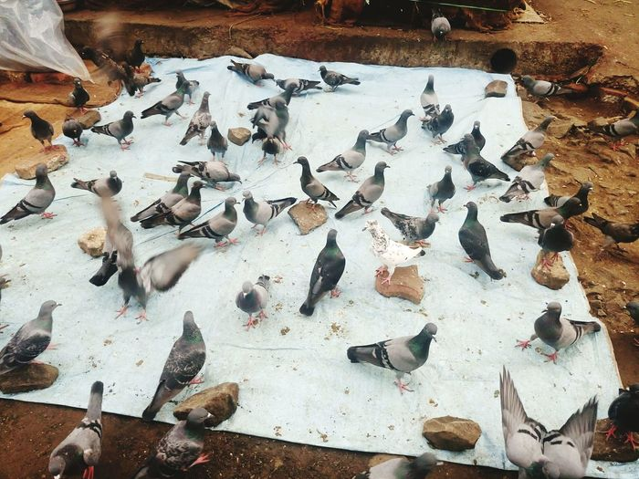 High Angle View Of Pigeons On Ground