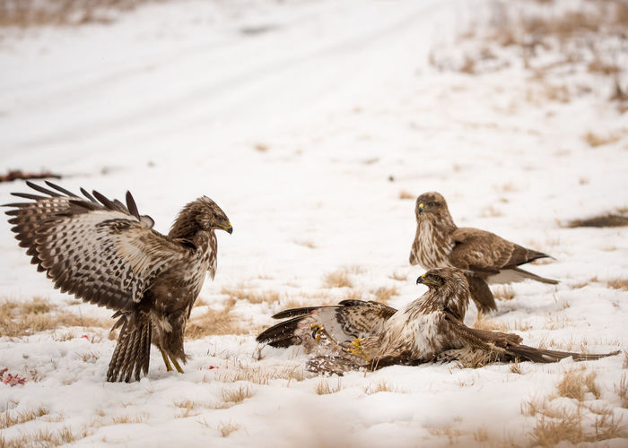 Close-up of birds fighting on snow