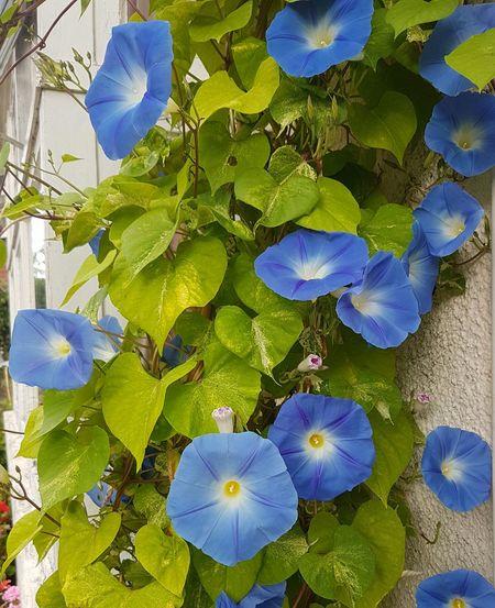 Morning Glory Flowers Blue Flowers Stunning Blue Skyblue Flowers Cottage Garden  Summertime Heavenly Blue