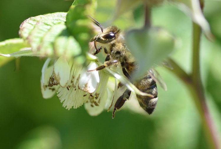 Biene Biene bei